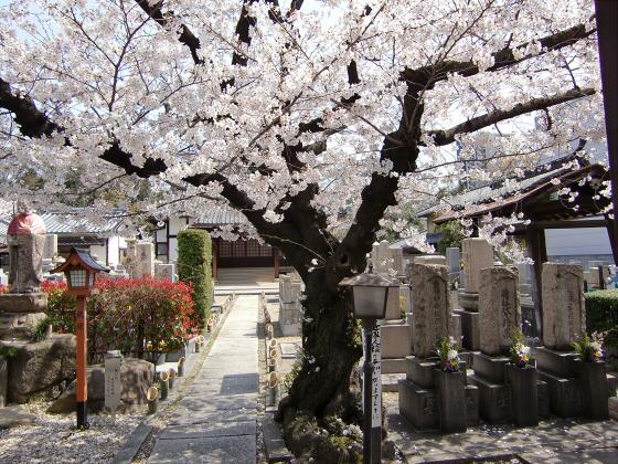 大阪で撮った桜2013-13