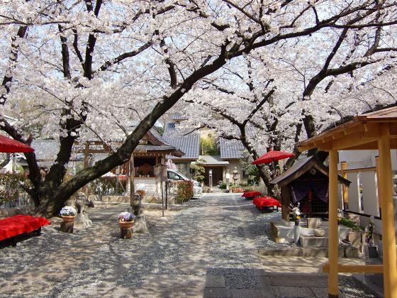大阪で撮った桜2013-15
