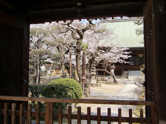 大阪で撮った桜2013-16