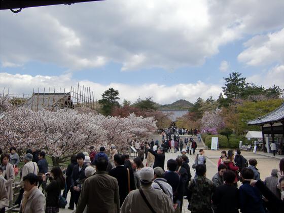 仁和寺の御室桜09