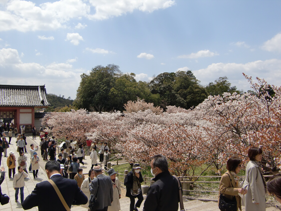 仁和寺の御室桜10