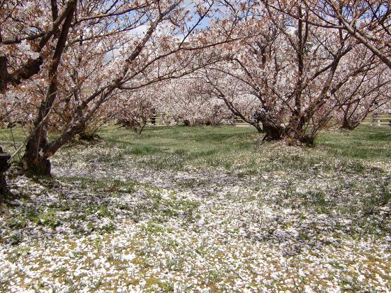 仁和寺の御室桜11