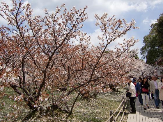 仁和寺の御室桜12