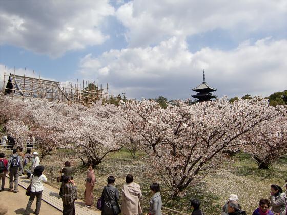 仁和寺の御室桜13