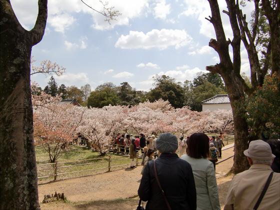 仁和寺の御室桜15