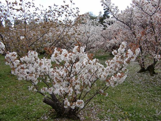 仁和寺の御室桜17