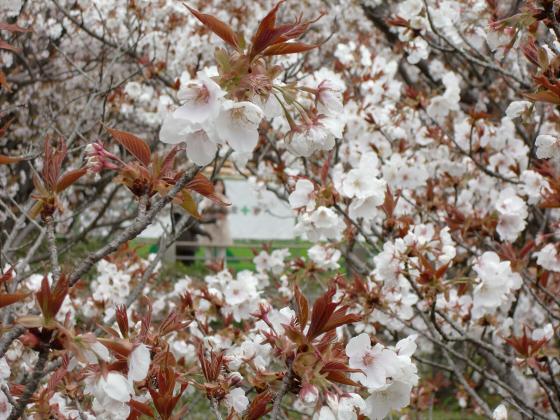 仁和寺の御室桜18