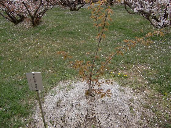 仁和寺の御室桜19