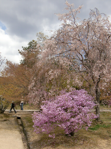仁和寺の御室桜20