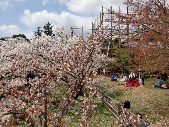 仁和寺の御室桜23
