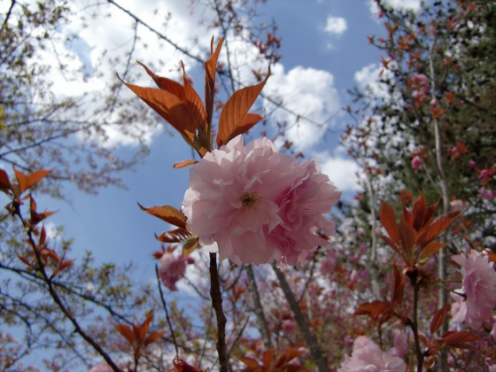 仁和寺の御室桜24