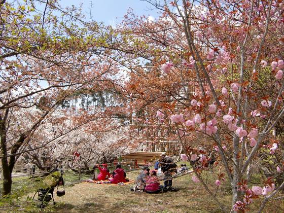 仁和寺の御室桜25
