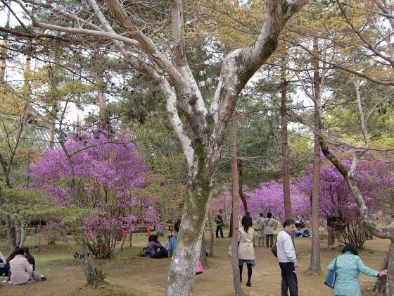仁和寺の御室桜26