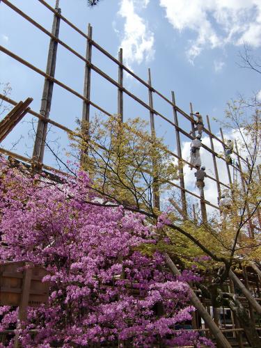 仁和寺の御室桜29