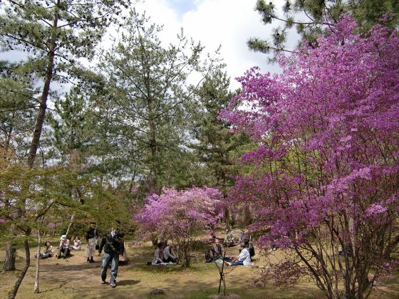仁和寺の御室桜32