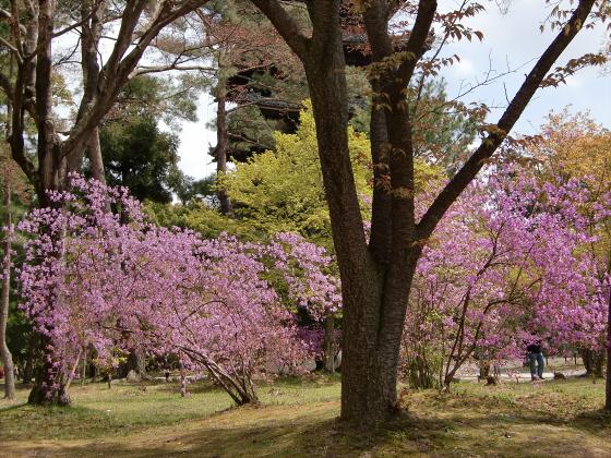 仁和寺の御室桜33