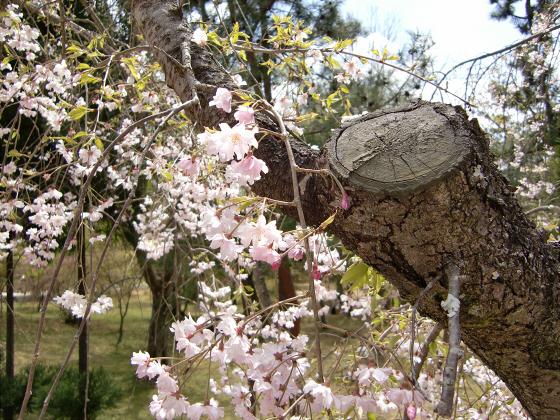仁和寺の御室桜36