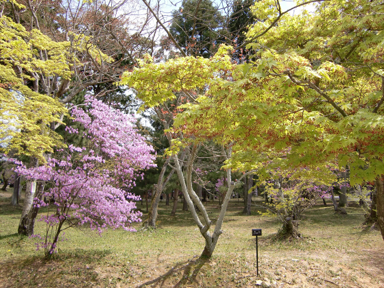仁和寺の御室桜39