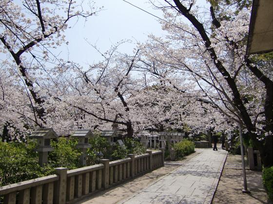 三光神社の桜2013-02