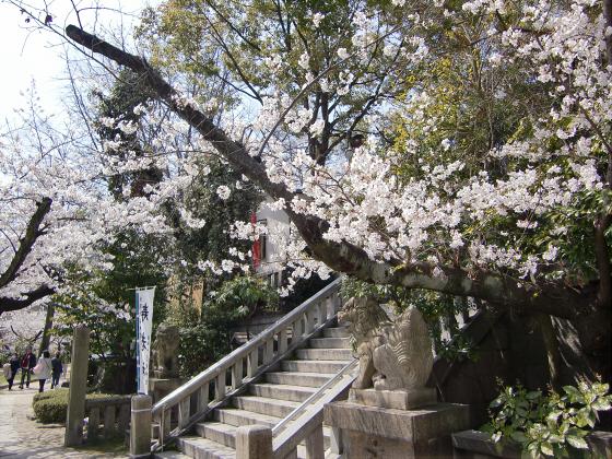 三光神社の桜2013-03