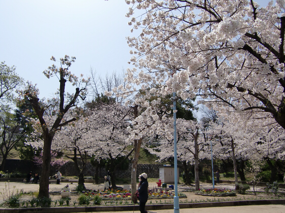 三光神社の桜2013-11