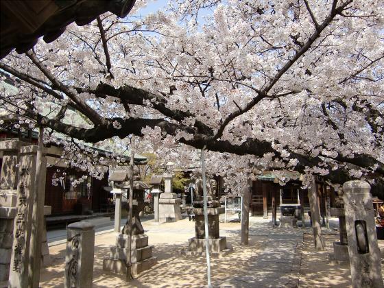 天下茶屋の聖天さんの桜01