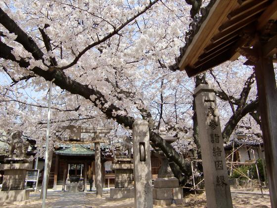 天下茶屋の聖天さんの桜04