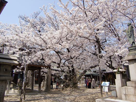 天下茶屋の聖天さんの桜08