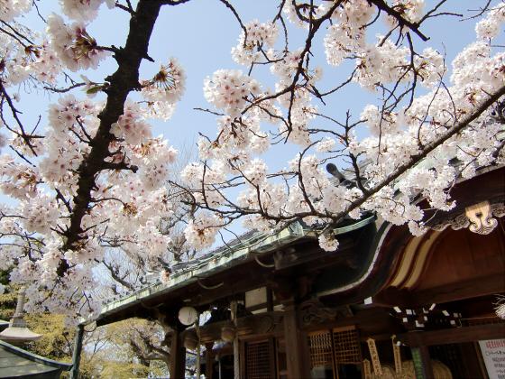 天下茶屋の聖天さんの桜09