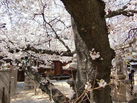 天下茶屋の聖天さんの桜11