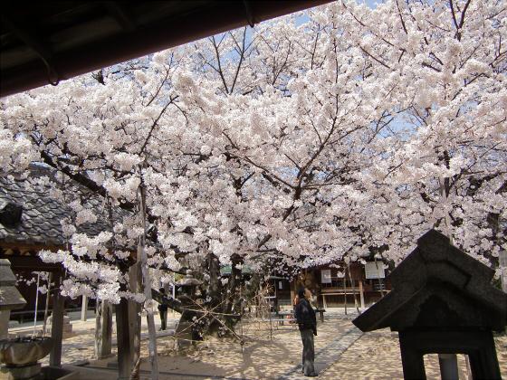 天下茶屋の聖天さんの桜12