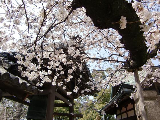 天下茶屋の聖天さんの桜13