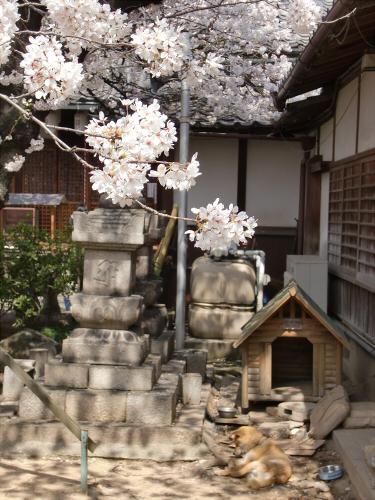 天下茶屋の聖天さんの桜16