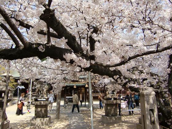 天下茶屋の聖天さんの桜17