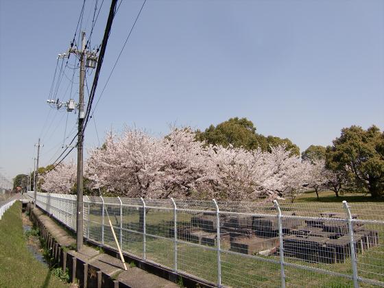 京阪トーマス号2013と桜その1-13