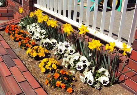 花壇の水仙