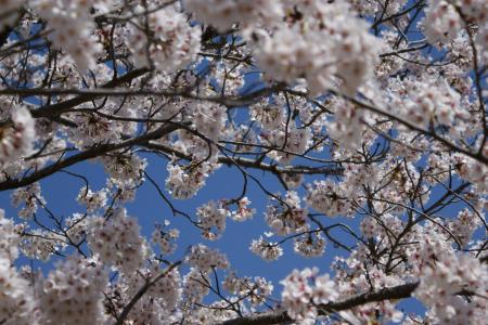 2012近所の桜1