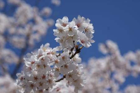 近所の桜2