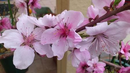 我が家の桜・・・じゃなくて桃花ちゃん