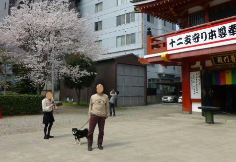 大須観音 桜