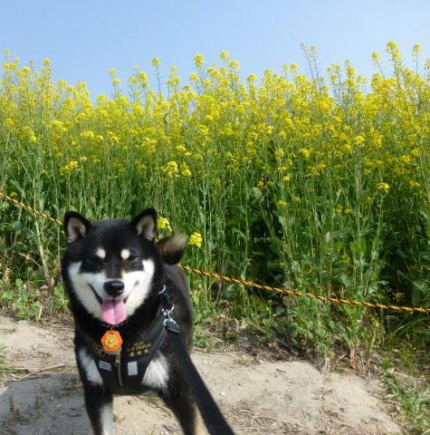 アイボク 菜の花