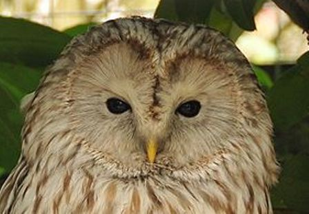 646px-Strix_uralensis_-Banham_Zoo,_Norfolk,_England-8a