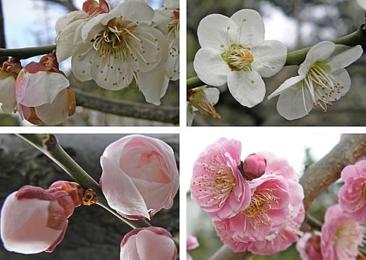 摂津岡本梅まつり2010-2