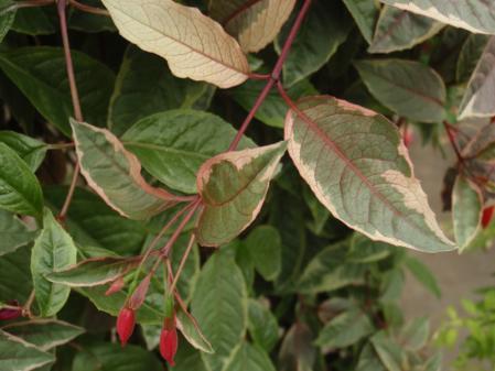 トリコロール葉
