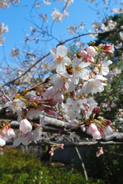 3/30現在の桜