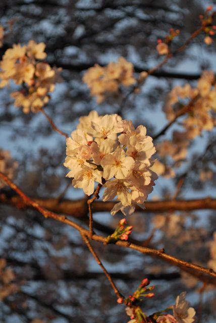 素晴らしい桜です。
