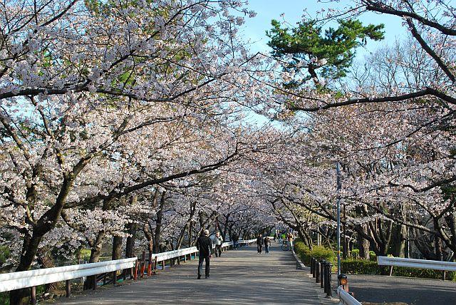 桜のトンネルやで~