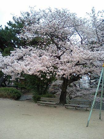 夙川川公園の桜