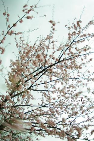 sakura_20130319004359.jpg