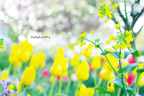 tulip2_20130408213504.jpg